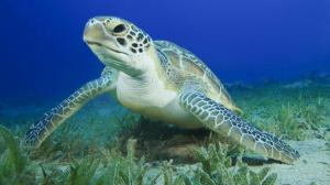 green-sea-turtle-closeup-underwater-jpg-adapt-945-1